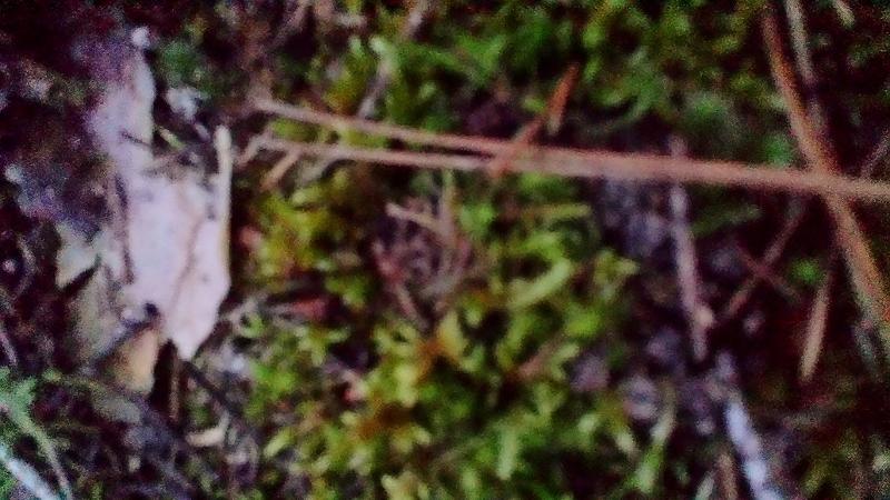 Imperceptible abultamiento en el musgo. ¿Piedra o marzuelo?