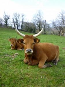 Silleda. Primer premio vaca. Raza Cachena
